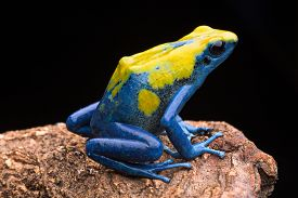 foto of poison arrow frog  - Poison arrow frog from the tropical Amazon rain forest - JPG