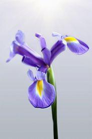 foto of purple iris  - Purple iris flower isolated on grey background  - JPG