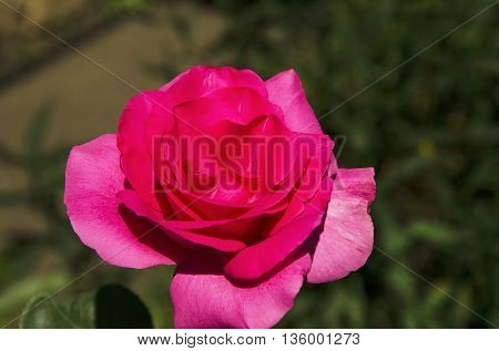 Red rose on a background of green leaves
