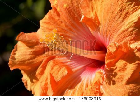 Close up of a beautiful orange Hibiscus blossom