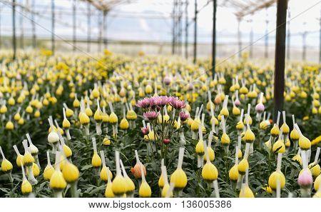 Daisy flower in greenhouse  - Da Lat - Vietnam