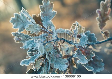 Branch Wit Oak Leaves Covered Frost.