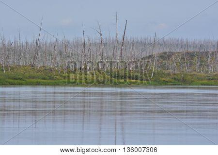 Dead forest near Norilsk. Dry trees on the river banks Fishing.
