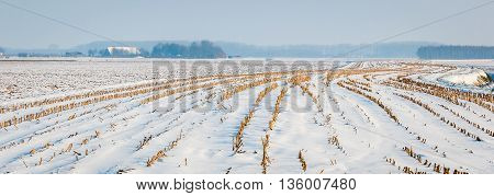 View at the meandering lines of harvested fodder maize in a snowy and hazy Dutch landscape.