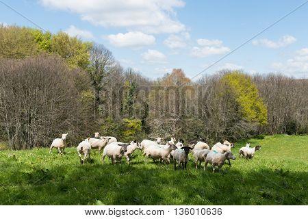 Herd shaved sheep in landscape