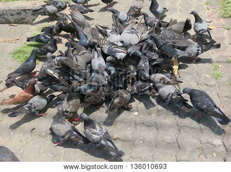 flurry of city pigeons rushing to eat food thrown by tourists, park near Tang Kuan Hill lift station, Songkhla, Thailand