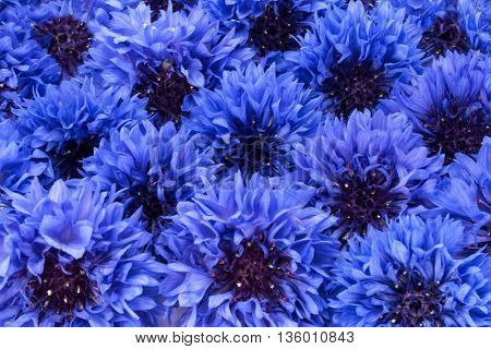Blue Cornflower Herb or bachelor button flower heads background