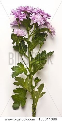 A photo of a single branch of tender pink chrysanthemums on white background with green leaves and a long stem