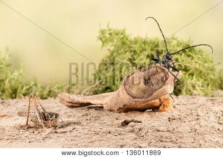 closeup Longhorn beetle (Aromia moschata) is sitting on a snag and grasshopper on on the sandy soil of semideserts