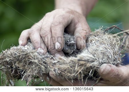 Small chick in male hands, selective focus closeup, concept of nature care