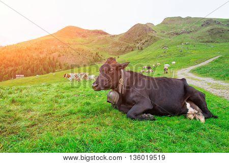 Cow Lying Grazing On Italian Alps