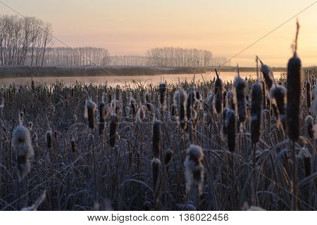The first touch of frost. Reeds grow on the river Bank. All plants covered with frost.