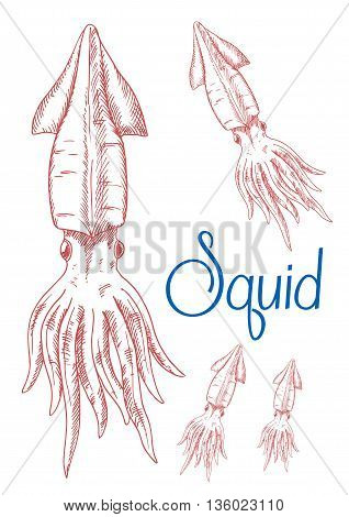 Engraving sketch drawings of red greater hooked squid with detailed mantle, fins and tentacles. Great for underwater wildlife symbol or t-shirt print design