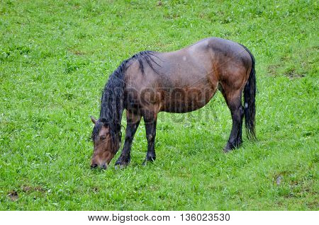 Horse In Pasturing And Eating Grass In The Rain
