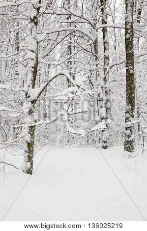 Deciduous trees in the forest during the snowfall