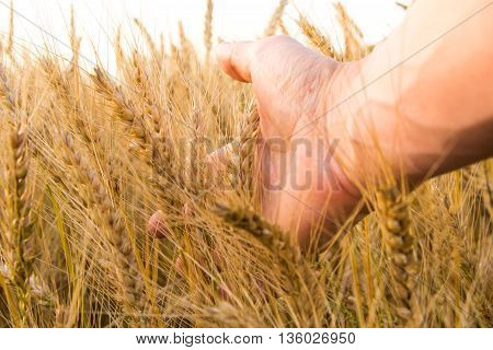 Wheat ears in the man's hand. Wheat field on sunset Harvest concept.