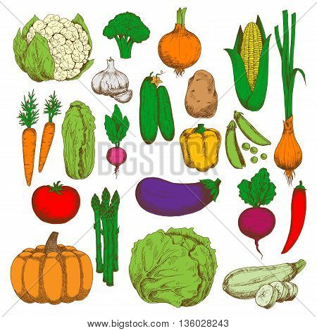 Green crunchy cabbages, cucumbers, cauliflower and asparagus, sweet corn, pumpkin, carrots and beet, ripe tomato, potato, eggplant and zucchini, juicy peas, peppers, onions and garlic, broccoli and radish vegetables sketches