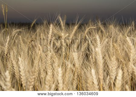 Wheat field. Ears of golden wheat close up. Beautiful Nature Landscape. Rural Scenery under Shining Sunlight. Background of ripening ears of meadow wheat field. Rich harvest Concept