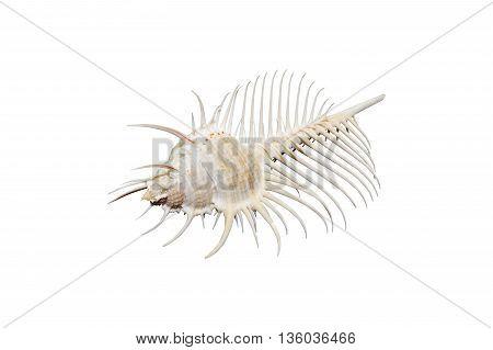 Venus Comb murex shell on white... ..