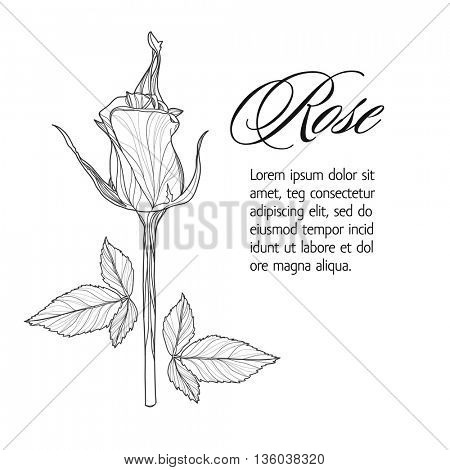 Greeting card with rose bud, ink sketch