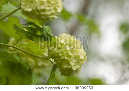 floral background branch of white viburnum snowball.