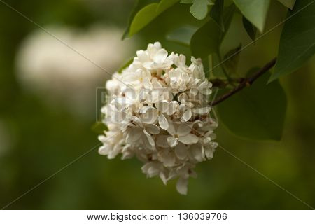 Branch of blossoming white lilac. Floral natural background