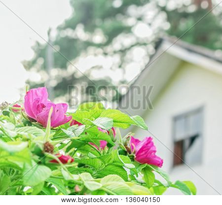 Summer blooming wild rose bush and old house