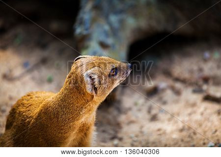 Yellow Mongoose, Cynictis penicillata, sitting on the tree trunk. Yellow Mongoose in the nature habitat. Yellow Mongoose with long tail. African animal from Botswana. Yellow Mongoose from Africa.
