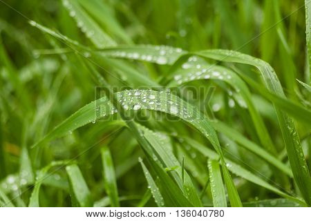 Water drops on grass in early morning. Floral natural background