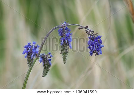 Branch of blue field flowers. Macro. Floral natural background