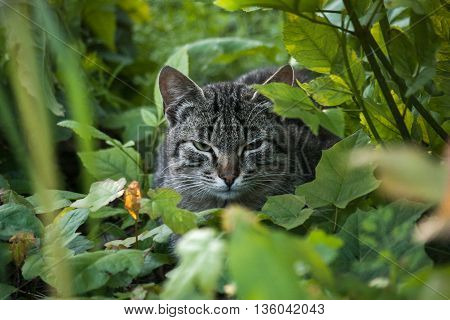 Tabby cat resting sit in green foliage