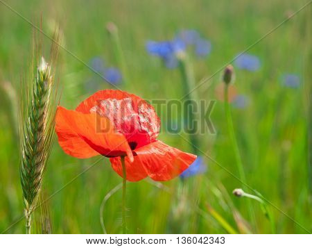 Red poppy flower, Papaver rhoeas, in green spring corn field