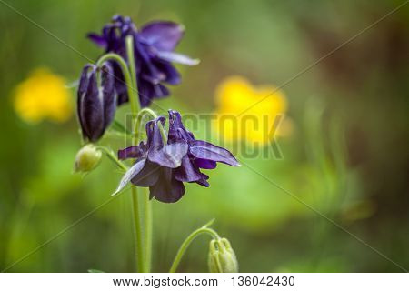 Floral nature background with blue garden aquilegia flowers. Macro.