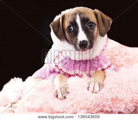 whippet puppy in a sweater knit and hat