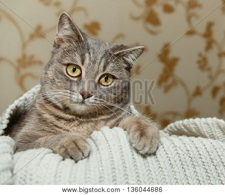 The Scotch Grey Cute Cat is Sitting in the Knitted White Sweater.Beautiful Look.Animal Fauna,Interesting Pet.