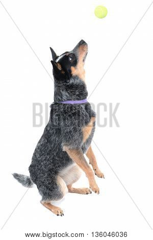 dog catching a ball isolated on a white background