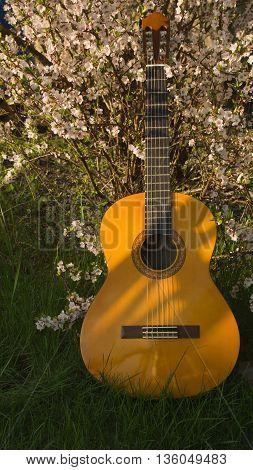 Guitar Near Blooming Cherry