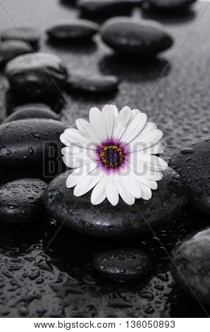 beautiful gerbera with wet stones on wet background