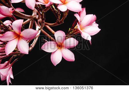 branch frangipani or plumeria with black background