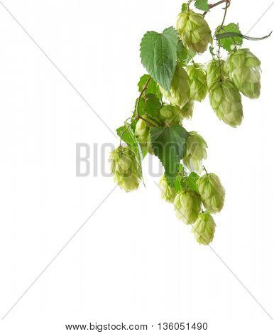 Branch of hop  isolated on white background.
