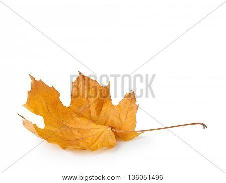Autumn maple leaf on white background.