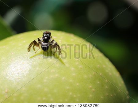 An Apple Maggot Fly (Rhagoletis pomonella) on a fruit
