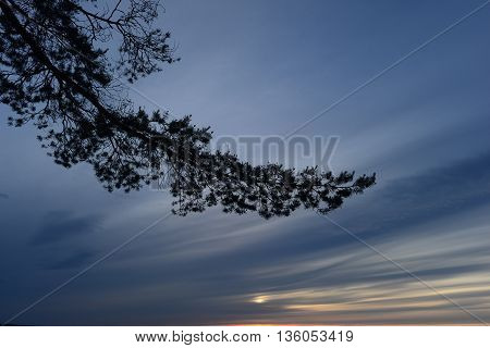 Pine branches against the blue summer sky at sunset