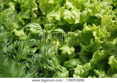 Close-up herbs with water drops: basil salad fennel