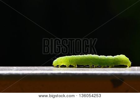 Beautiful Small Green Caterpillar. Macro Shot Of Insects.