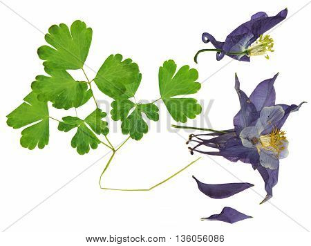 dry large dark blue purple perspective delicate royal Aquilegia with pressed leaves petals isolated on scrapbook background blossom of Columbine flower