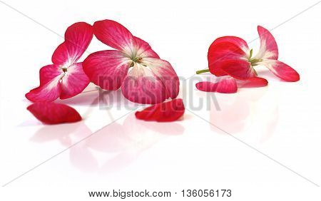 white pink geranium perspective fresh delicate flowers and petals of pelargonium isolated on scrapbook background