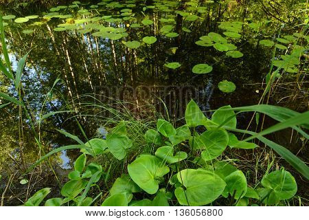 Thickets of water lilies in the summer on a forest river
