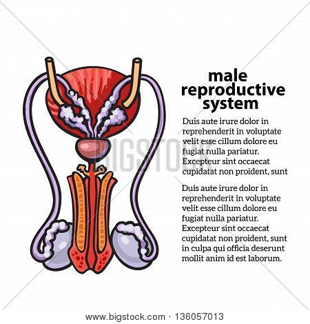 Male reproductive system, sketch hand-drawn illustration isolated on white background, isolated detailed color image of the male reproductive system, male health