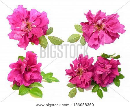 oil draw pink petals briar fresh delicate flowers terry rosehips isolated on white background scrapbook paint